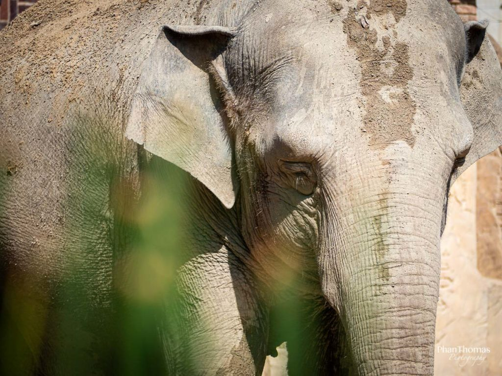 Leizpiger Zoo: Indischer Elefant