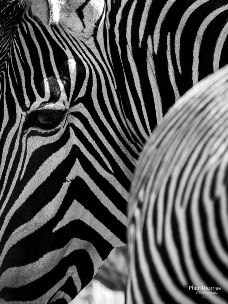 Zebra im Schwarz-Weiß-Look