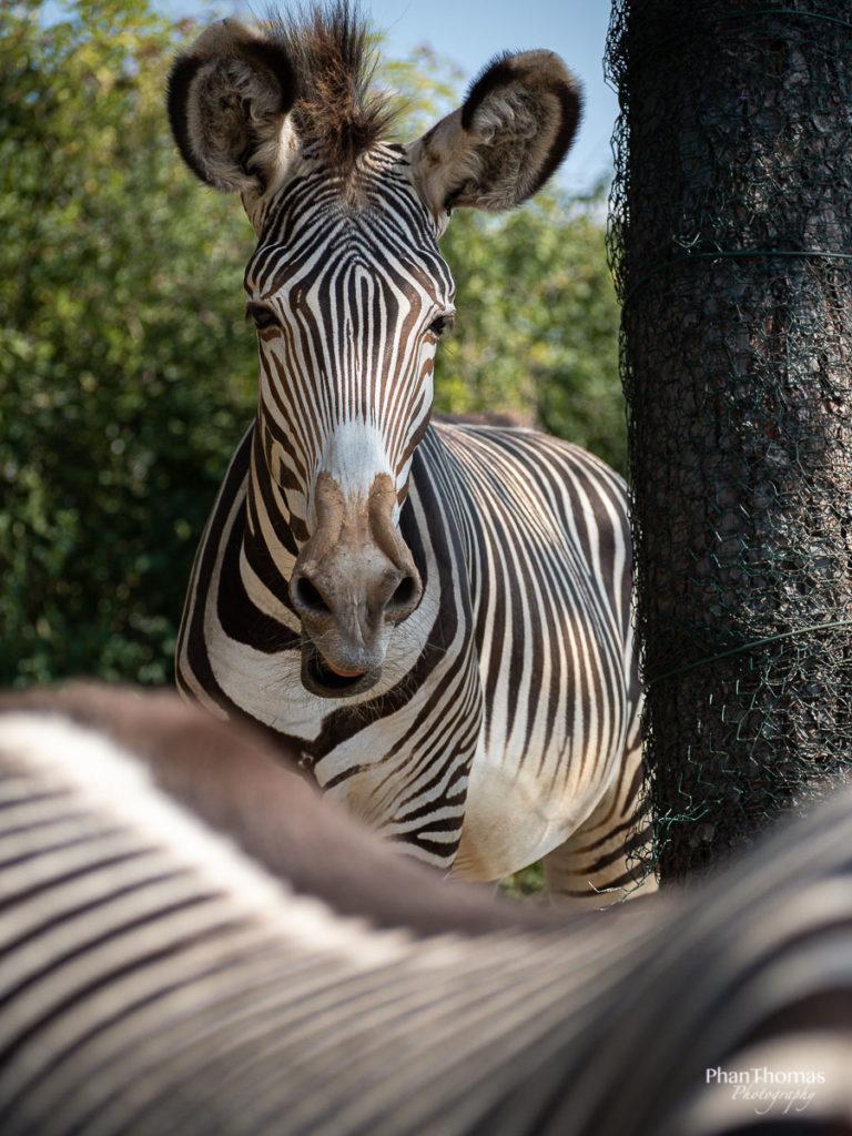 Zebra hinter Zebra
