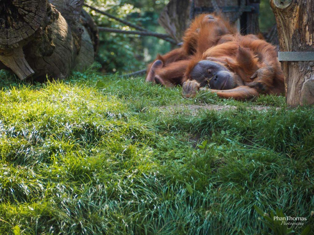 Leizpiger Zoo: Orang-Utans beim Napping