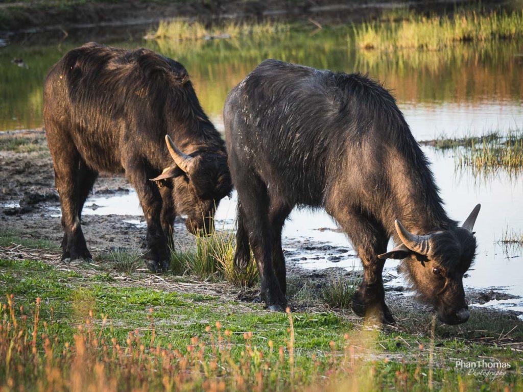 Wasserbüffel im Duo