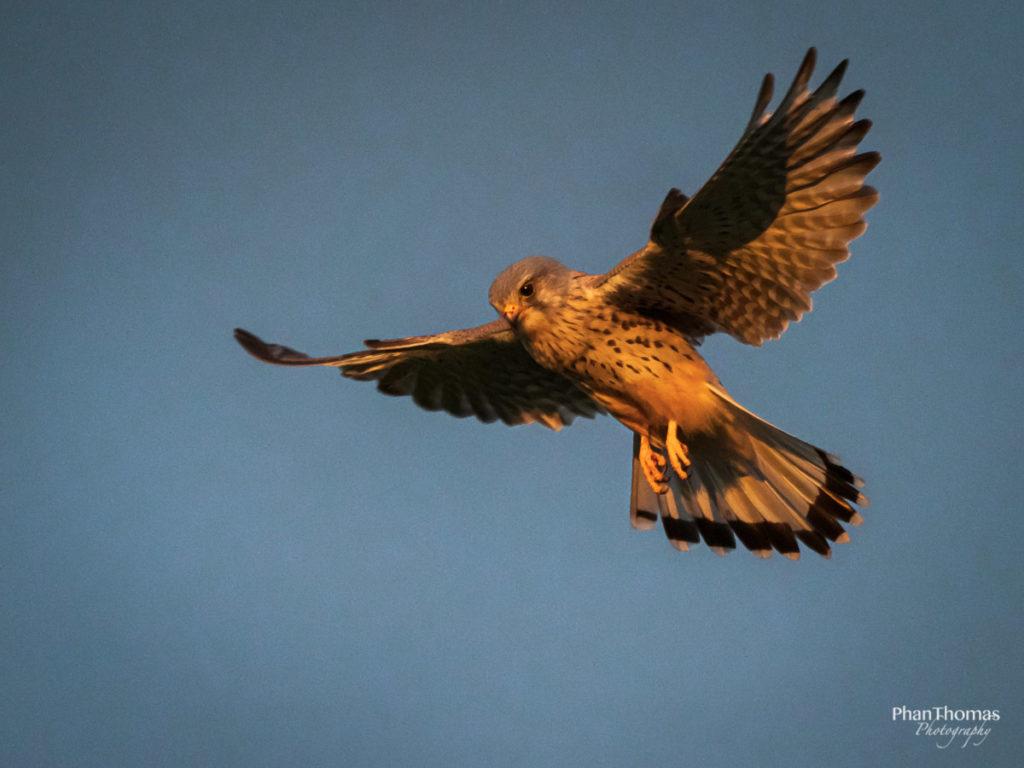 Falke im Flug