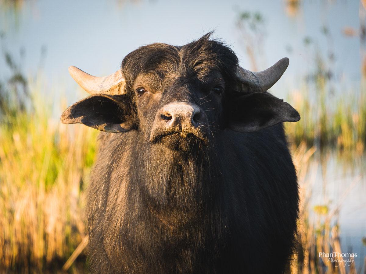 Wasserbüffel beobachtet mich