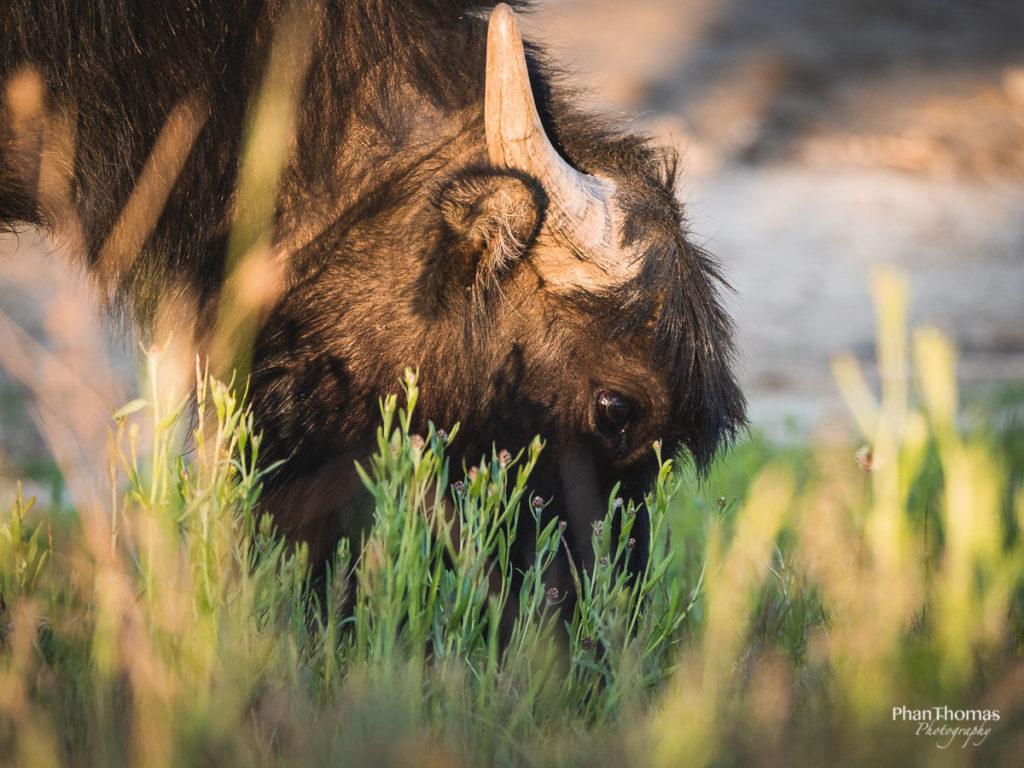 Wasserbüffel beim Grasen