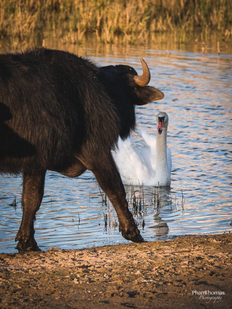 Büffel gegen Schwan