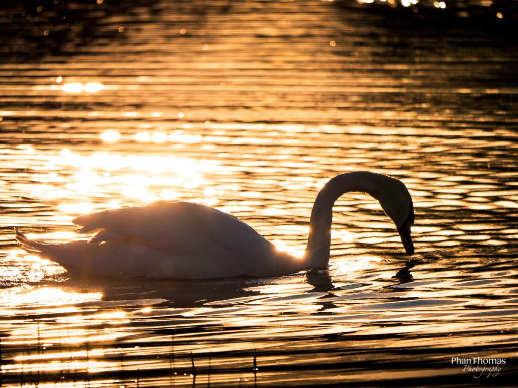 Schwan im Sonnenuntergang