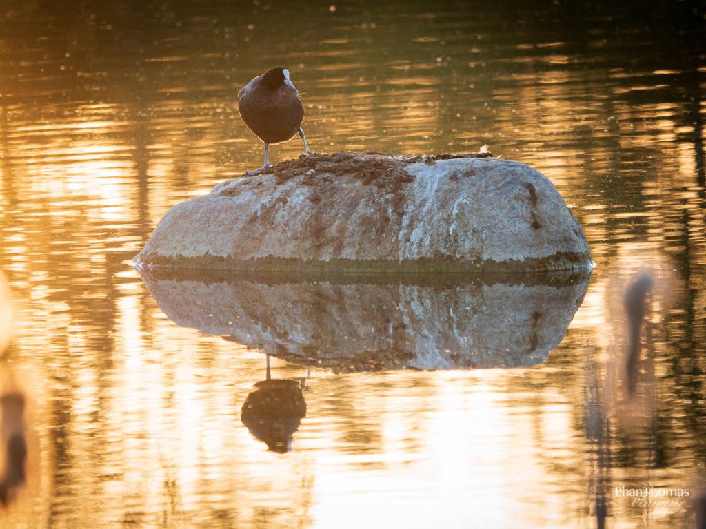 Blässhuhn auf dem Stein