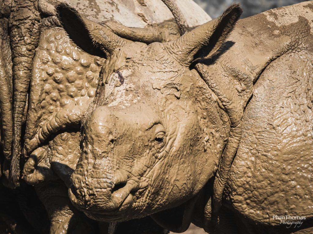Schlammiges Nashorn