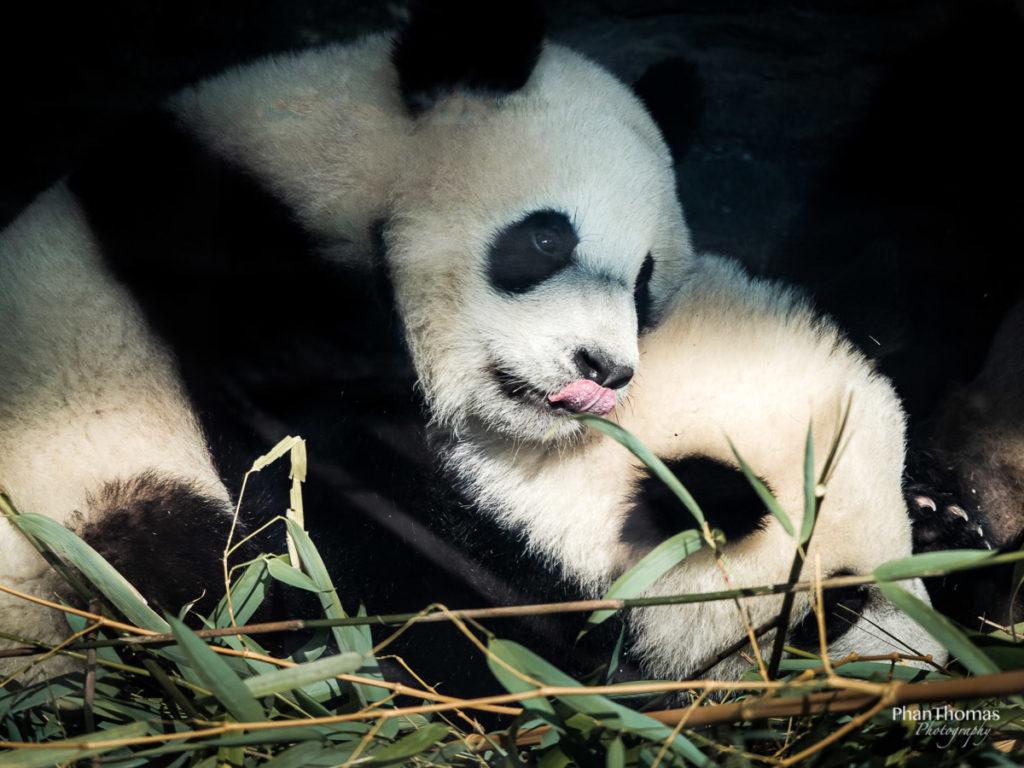 Pandakinder