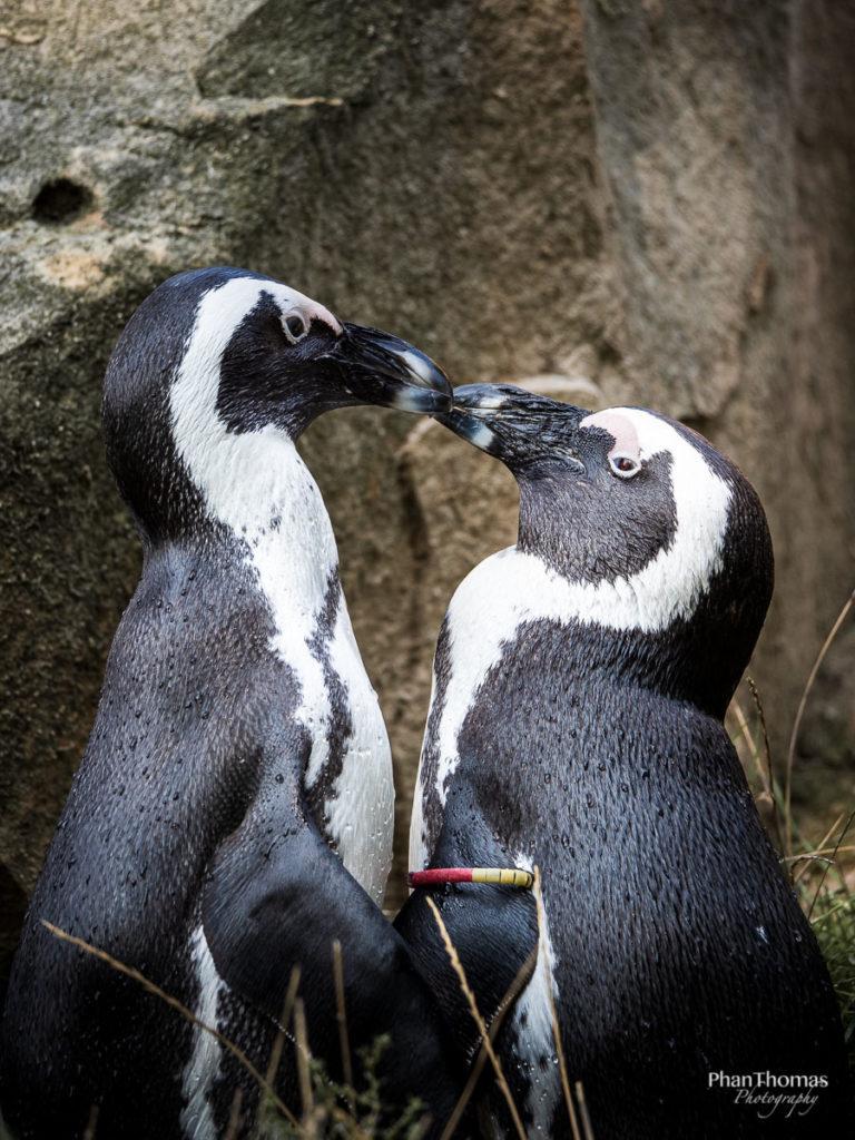 Pinguinpaar