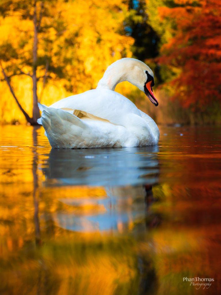 Schwan im Herbstlicht