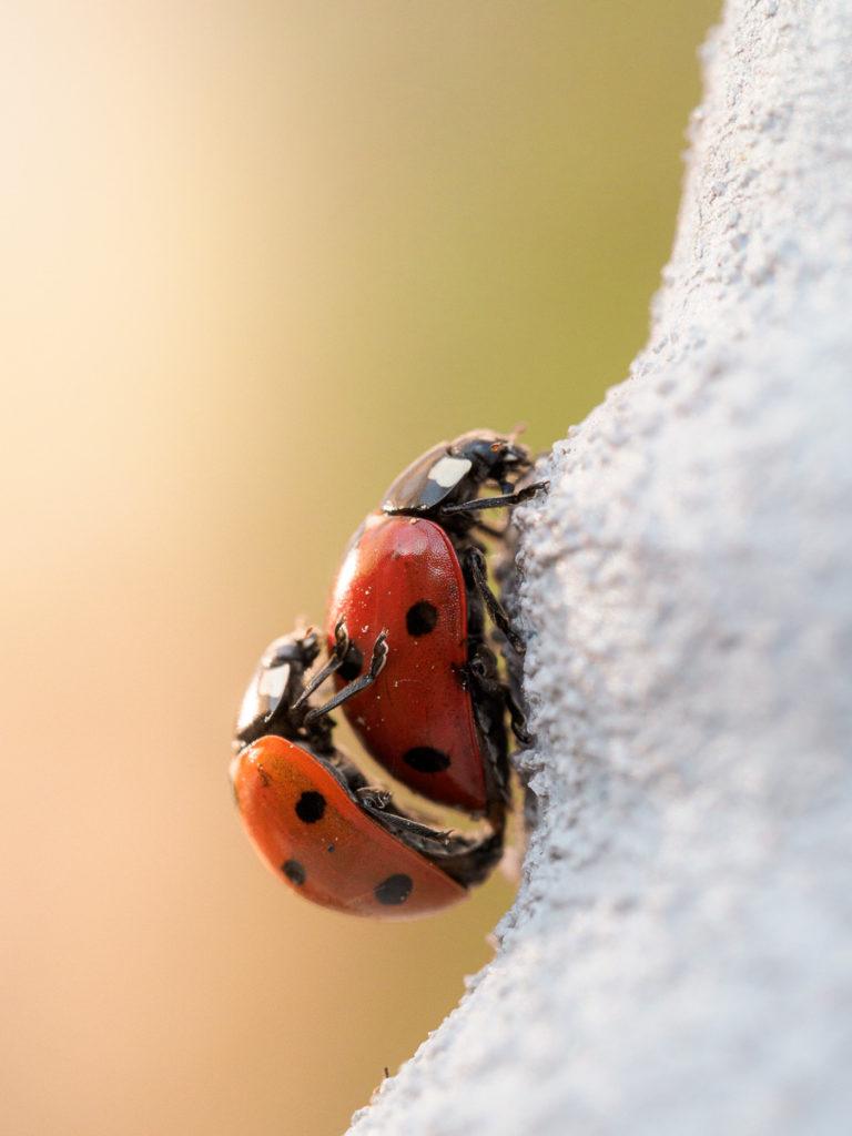 Marienkäferpaarung