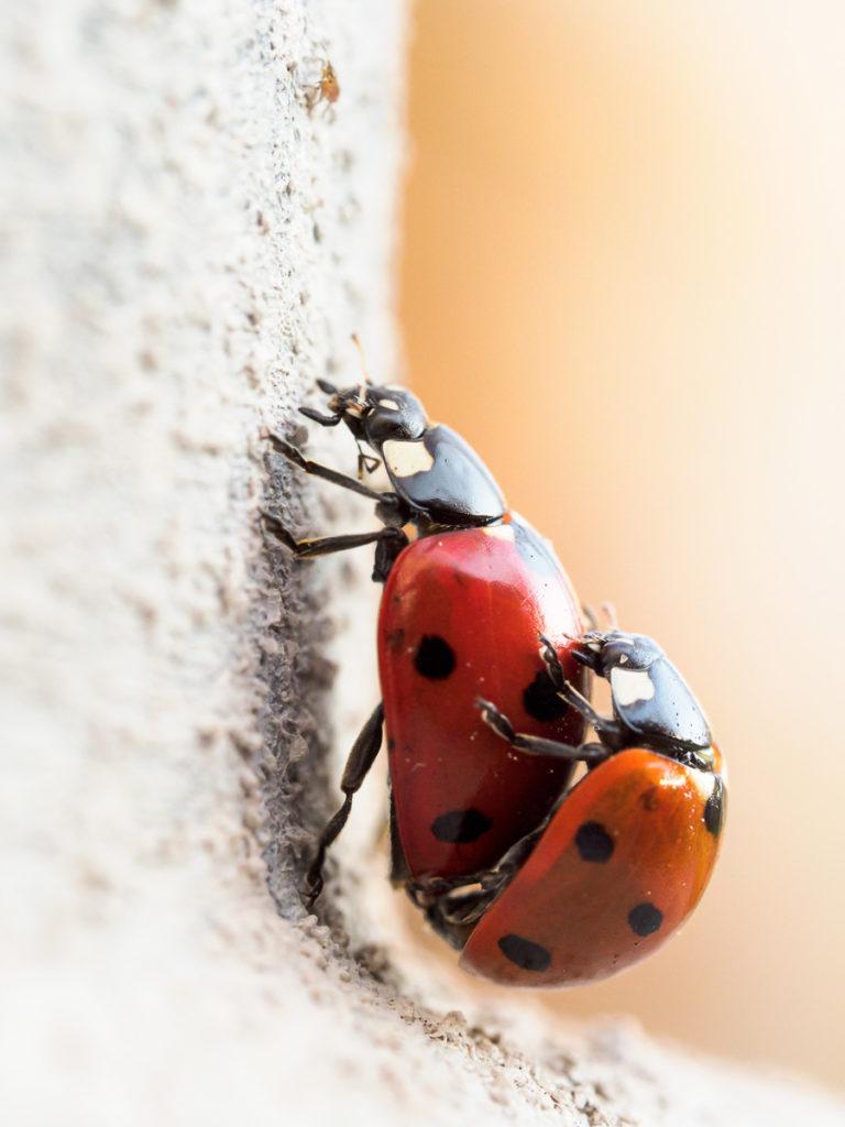 Marienkäferpaarung 2