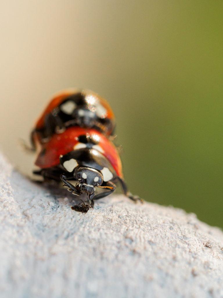 Marienkäferpaarung 4